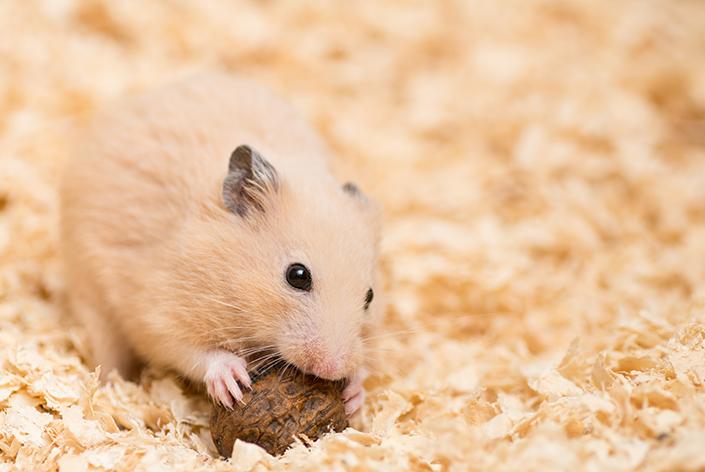 roedor com comida na serragem