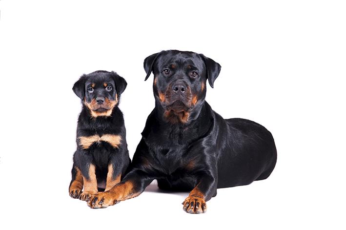 Rottweiler filhote e adulto