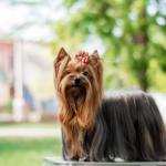 raça de cachorro Yorkshire Terrier
