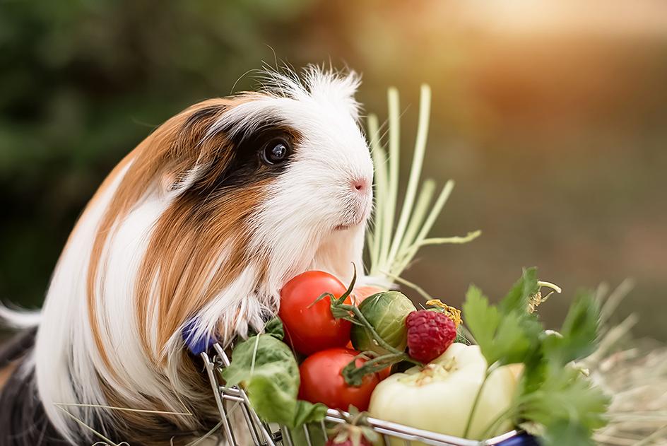 Porquinho abissínio com carrinho de legumes