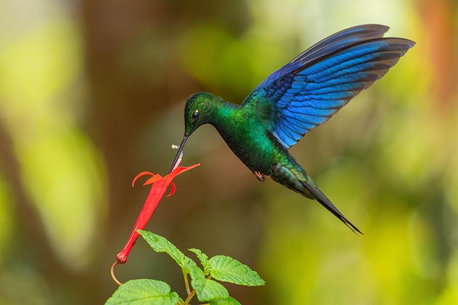 beija-flor azul em flor vermelha