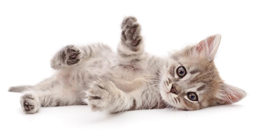 Adotar gato