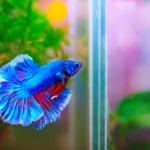peixe beta macho