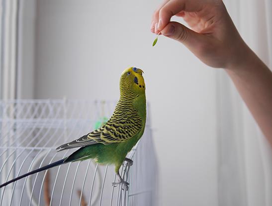 Papagaio sendo alimentado em cima da gaiola