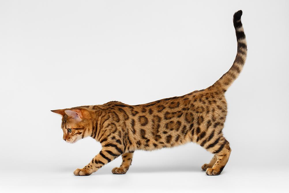 gato de bengala ou bengal adulto