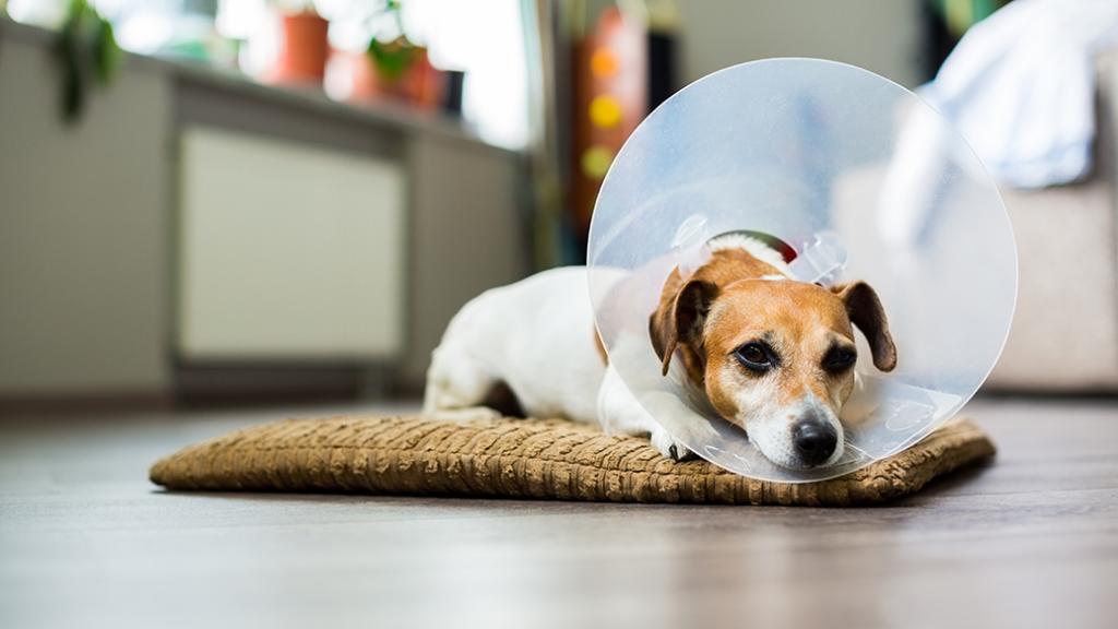 Cachorro com colar elisabetano