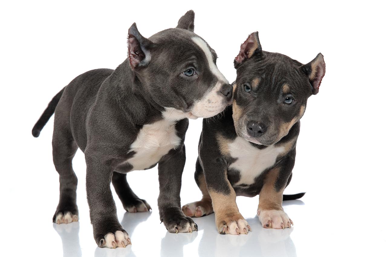 Cachorros American Bully Filhote