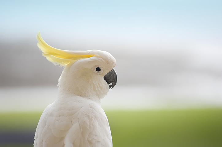 Cacatua virada de perfil com penacho amarelo