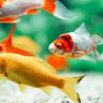 peixes de aquário nadando juntos