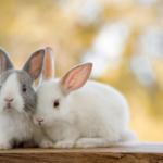 coelho de estimação