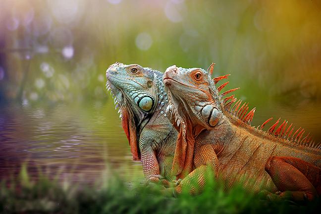 cuidar-iguana