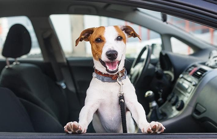 Cachorro no carro indo para a edição do Pedágio Aumigo