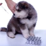 leptospirose cachorro