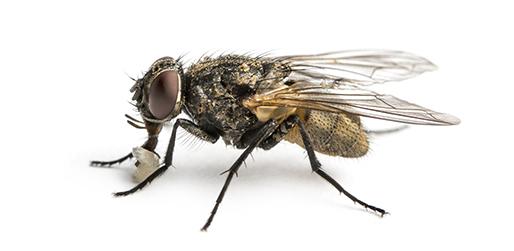 mosca transmissora do berne