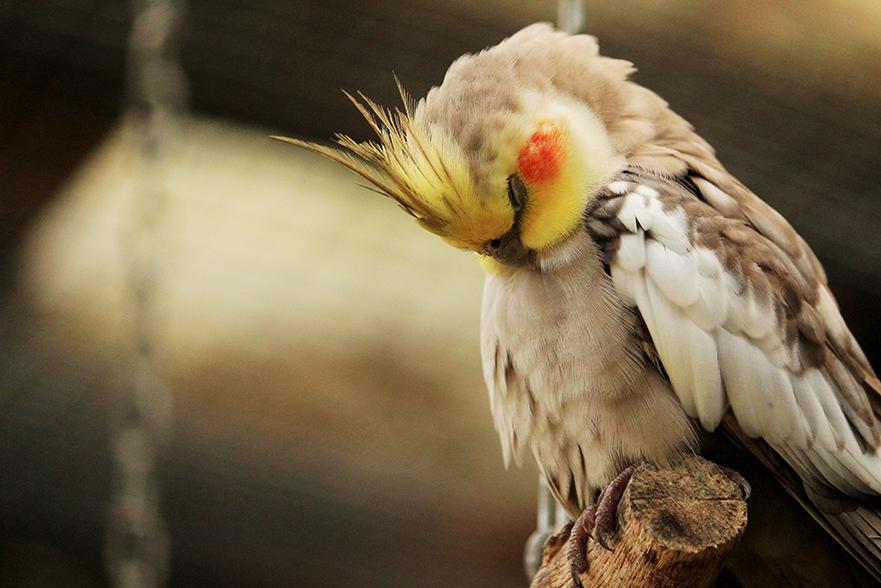Pássaros calopsita dormindo em um galho