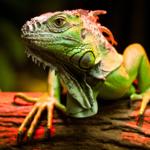 Iguana é um dos répteis domésticos