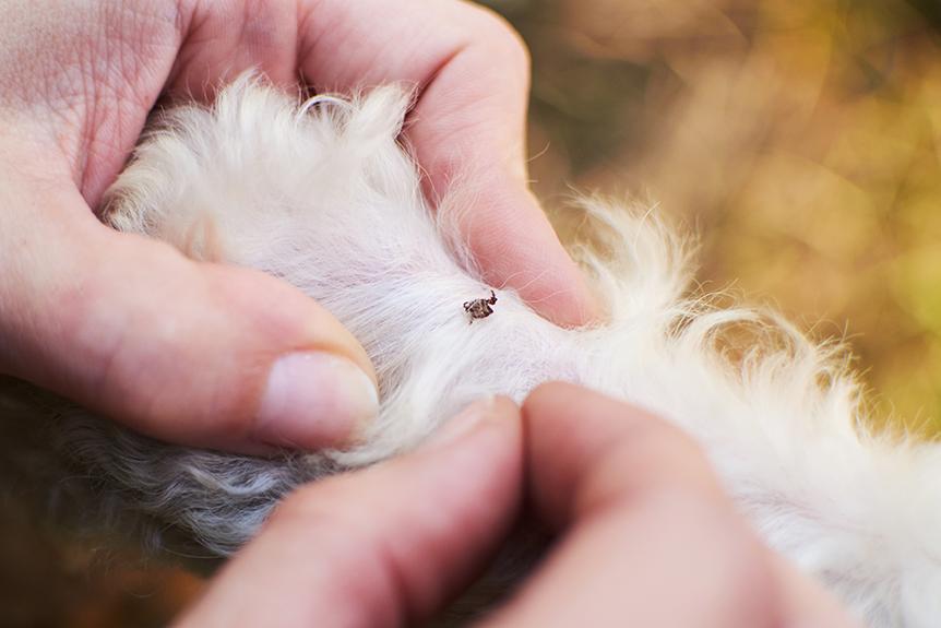 Cachorro com pulgas precisa tomar simparic