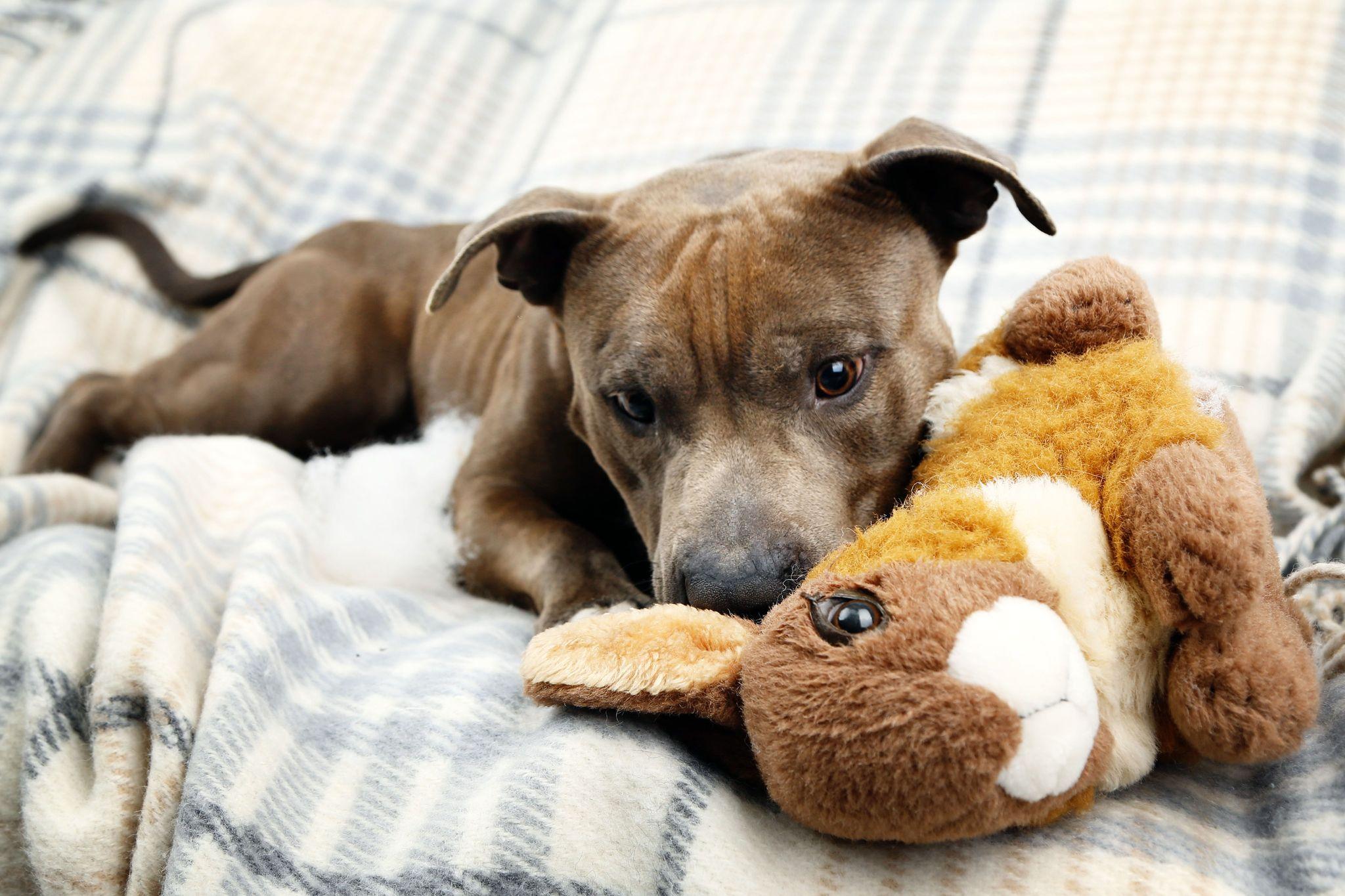 cachorro pitbull com urso de pelúcia