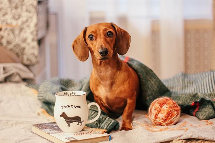 Cachorro salsicha com cobertor
