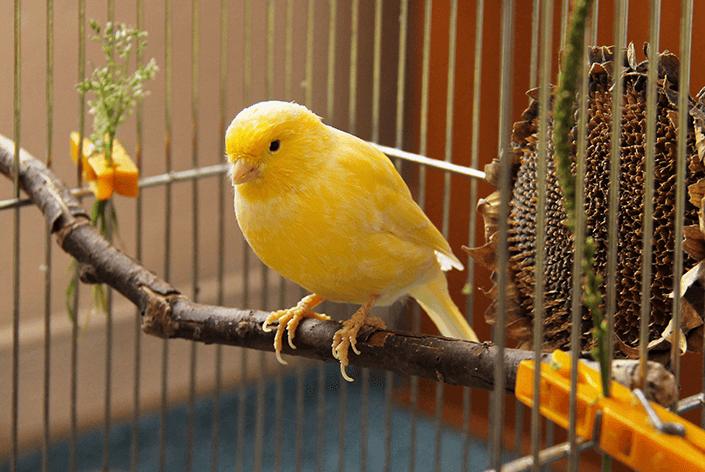 Canario da terra na gaiola