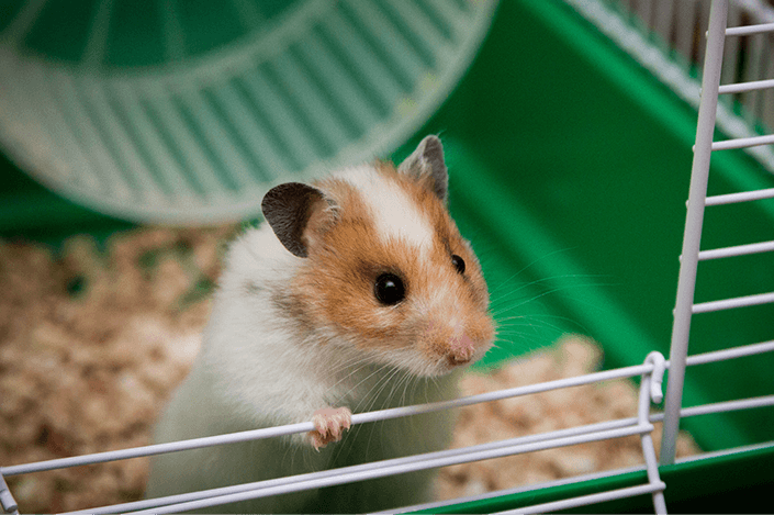 ratinho em pé na gaiola