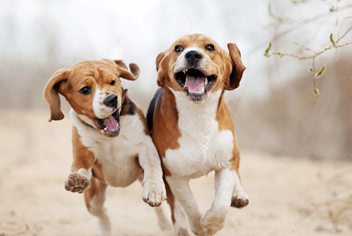 Cachorros da raça beagle correndo
