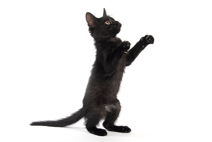 Gato filhote preto em pé
