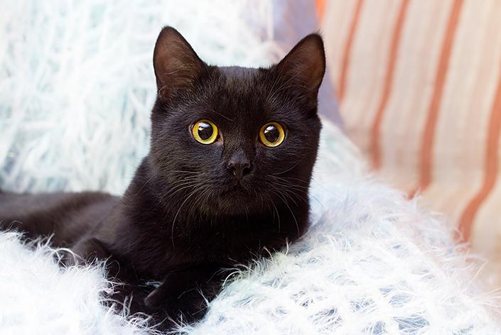 Gato preto deitado