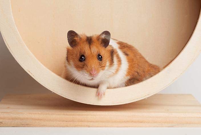 roedor olhando para a foto