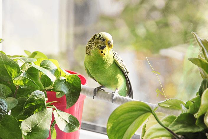 Periquito doméstico sentado perto da janela