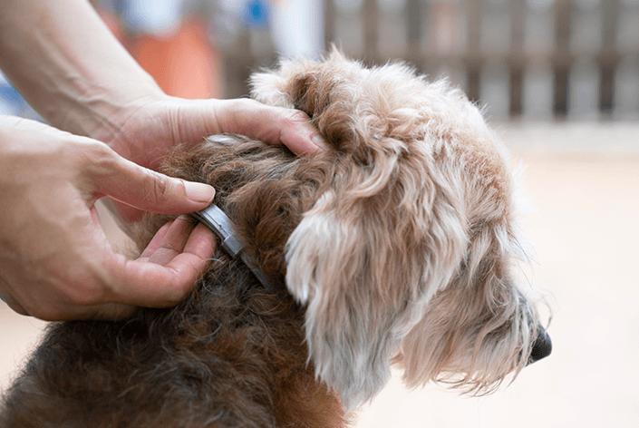 Cachorro com coleira seresto