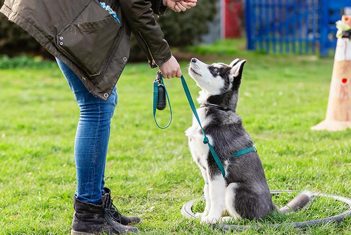 Mulher ajuda a treinar um cachorro Husky Siberiano filhote