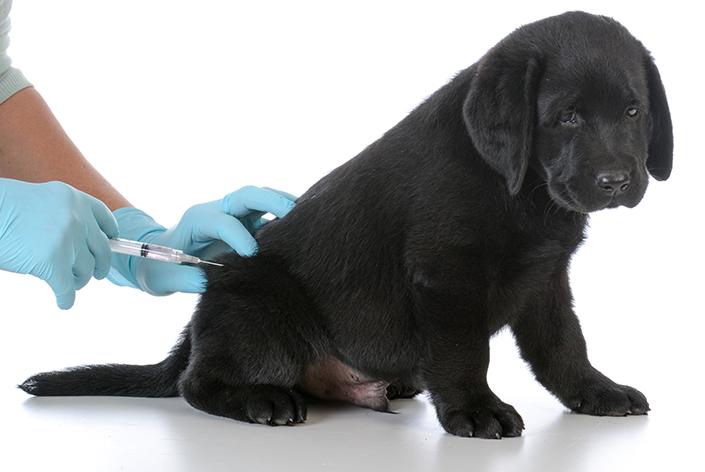 Cachorro sendo vacinado
