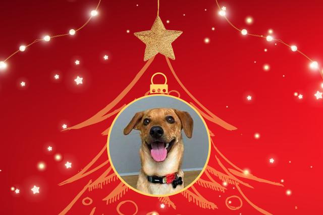 Twix foi um dos animais adotados na quarentena e está sorridente em uma bola de Natal e o fundo vermelho