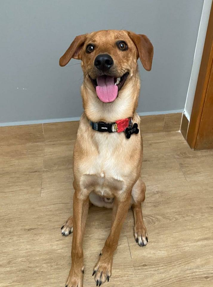 cachorro caramelo sentado sorridente com coleira no pescoço