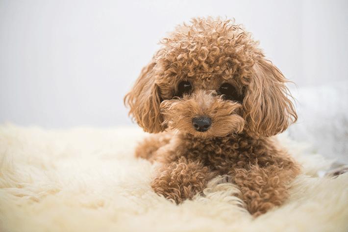 cachorro de pelo longo da raça poodle deitado em um cobertor
