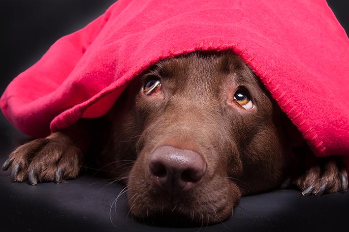 cachorro com medo de fogos escondido embaixo de um cobertor vermelho