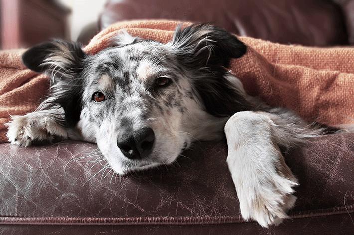 cachorro não quer comer deitado no sofá
