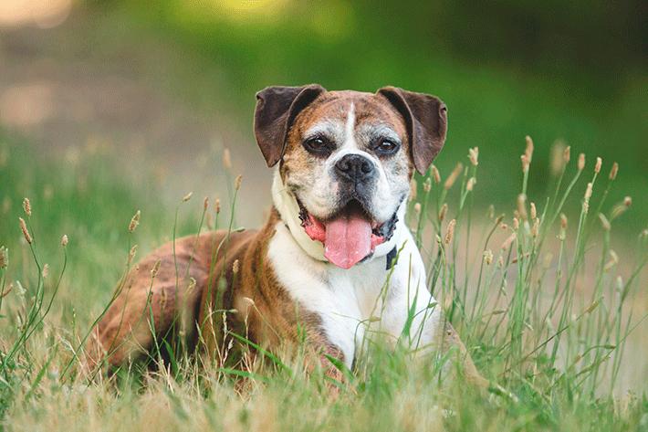 cachorro idoso de porte grande deitado na grama