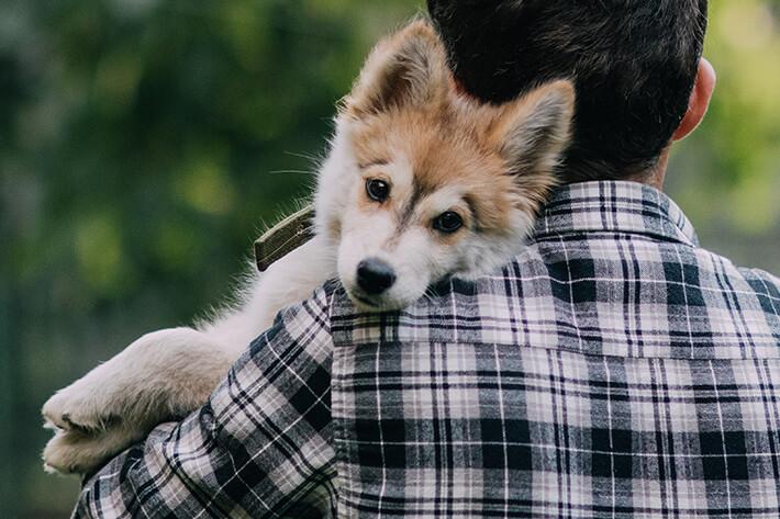 husky siberiano filhote no colo do tutor