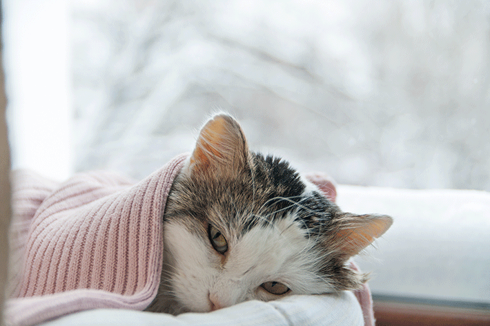 o que fazer com um gato com febre