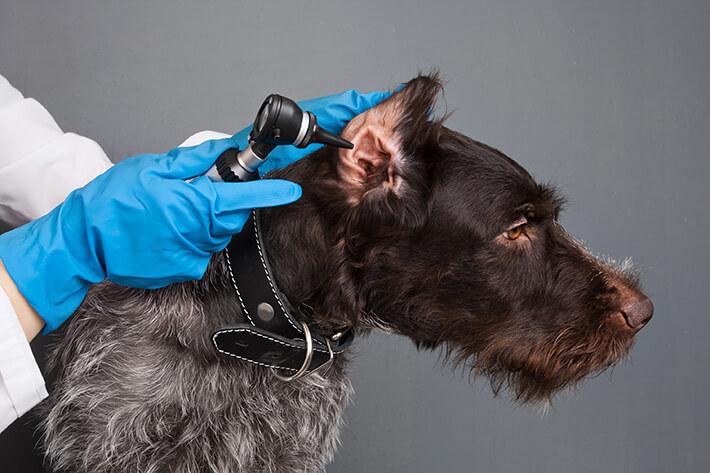 como saber se o cachorro está com dor de ouvido