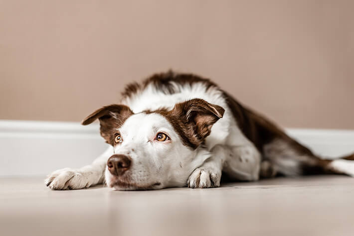 como saber se o cachorro está com dor
