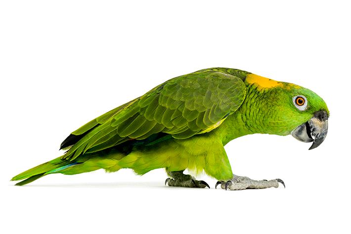 como vive um papagaio