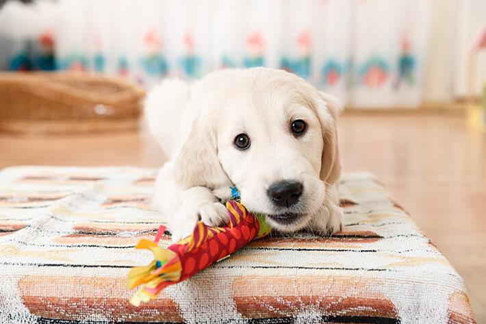 filhote de labrador brincando no chão com um ossinho colorido