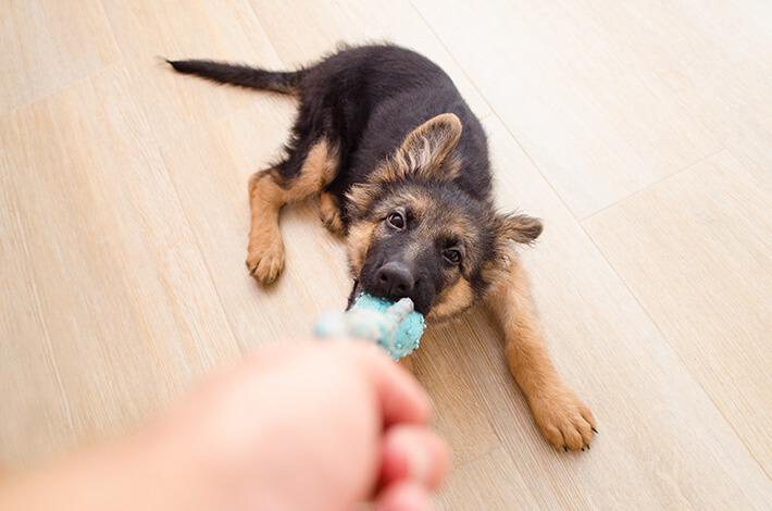 cachorro filhote brincando de puxar com o seu dono
