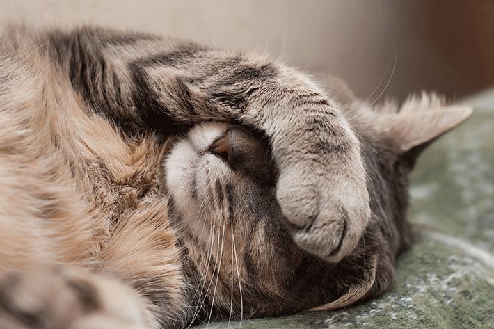 gato com febre muda o seu comportamento