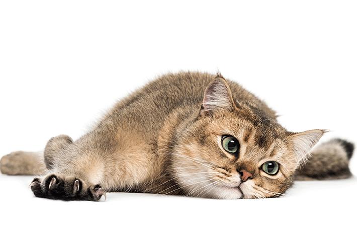 gato de pelo curto deitado no chão