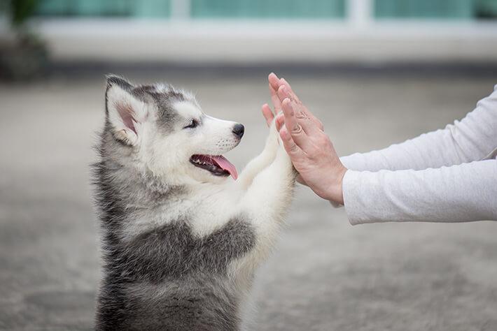 husky siberiano filhote com as patinhas na mão do dono