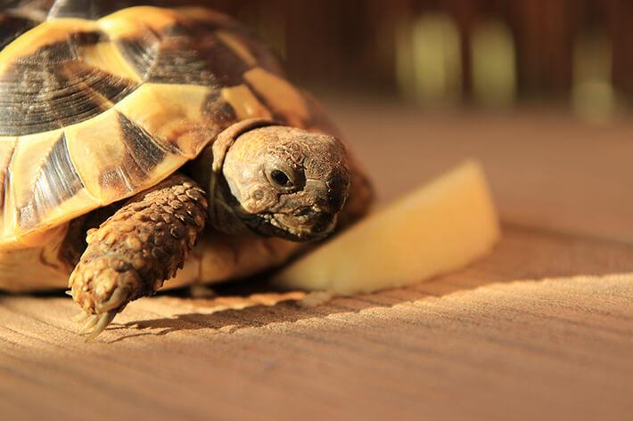 o que a tartaruga come ao longo do dia